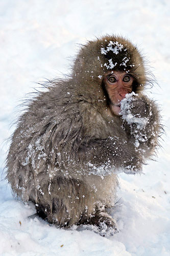 Japanese-Macaque-by-Pete-Morris (Birdquest)