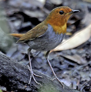 Japanese-Robin-by-Pete-Morris (Birdquest)