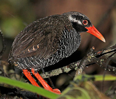 Okinawa-Rail-by-Pete-Morris (Birdquest)