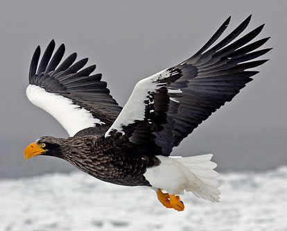 Stellers-Sea-Eagle-by-Pete Morris (Birdquest)