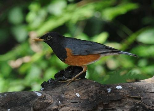Black-breasted-Thrush-Thailand 2014