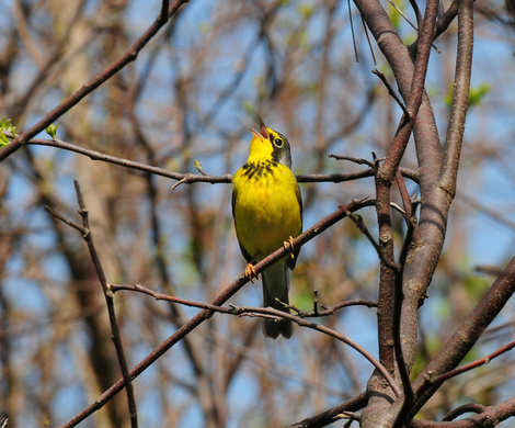 Canada Warbler by Nick Bray