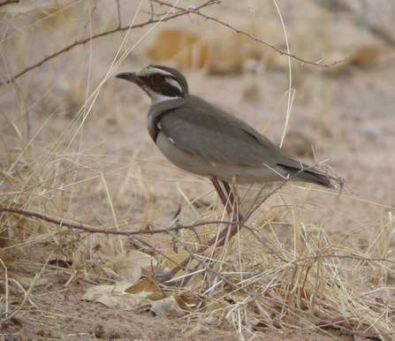 Bronze-winged-Courser