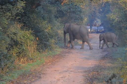 Asian Elephants at Corbett