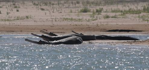 Gharial at Chambal River 2013 tour © Nick Bray