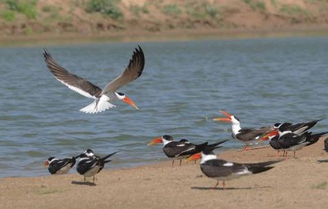 Indian Skimmers at Chambal River 2013 tour © Nick Bray