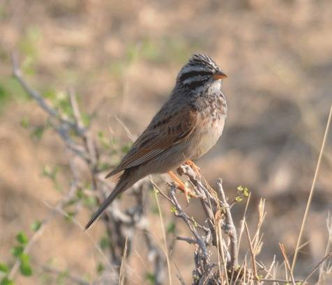 Striolated-Bunting © Nick Bray