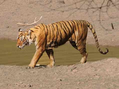 Tiger Ranthambhore 2013 tour © Nick Bray