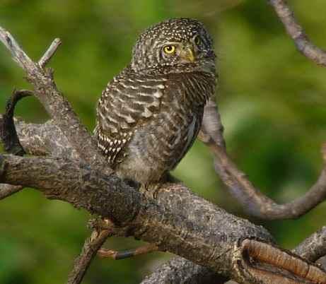 Collared-Owlet at Pangot © Nick Bray