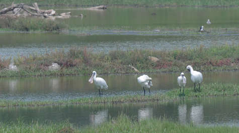 Black-faced Spoonbills © Nick Bray Taiwan Tour 2013
