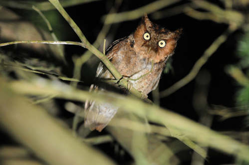 Mountain Scops-owl © Nick Bray Taiwan Tour 2013