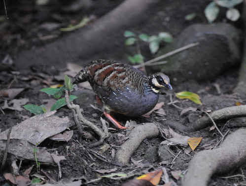 Taiwan Hill-partridge © Nick Bray Taiwan Tour 2013