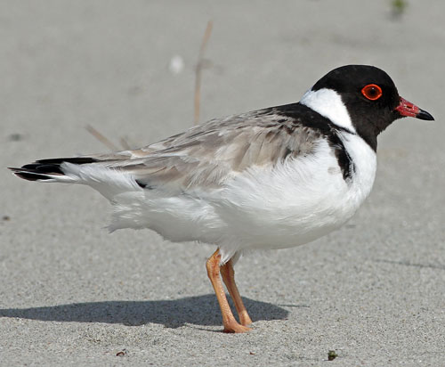 Hooded-Plover-Barry-Davies