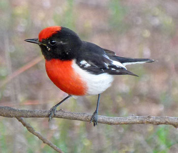 Red-capped-Robin-Barry-Davies