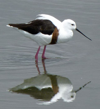 Banded-Stilt-Barry-Davies