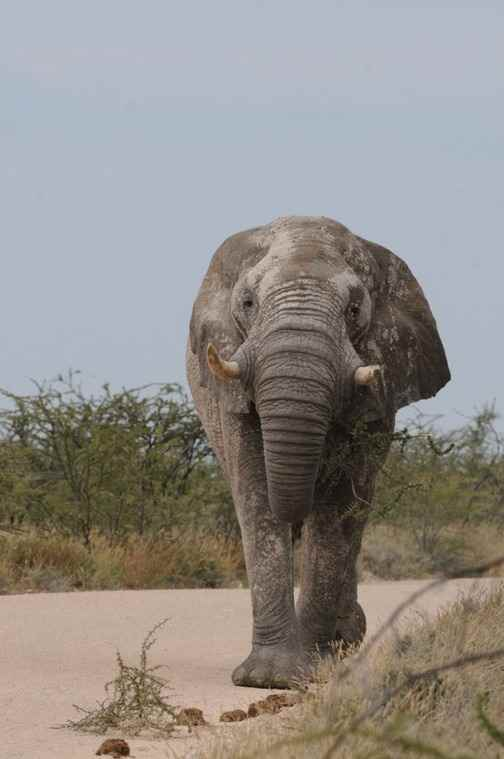 African-Elephant-at-Etosha-by-Nick-Bray