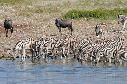 Zebras at Okaukuejo Waterhole