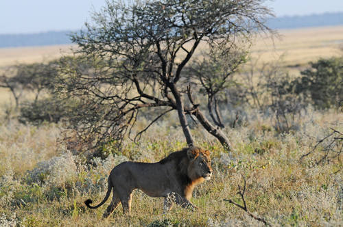 Lion - Namibia tour 2014