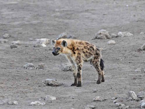 Spotted Hyena - Etosha 2014