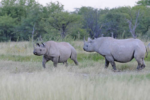 Black Rhinos at Halali by Nick Bray