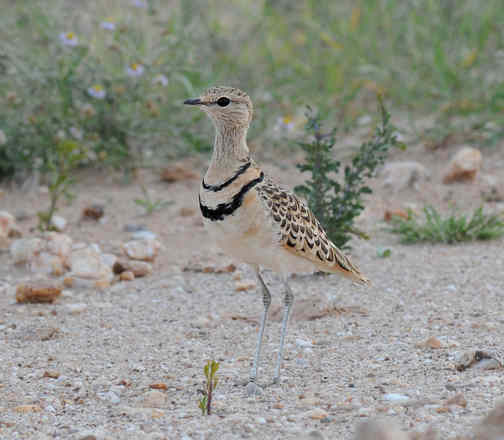 Double-banded Courser by Nick Bray