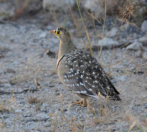 Double-banded Sandgrouse by Nick Bray