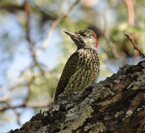 Golden-tailed-Woodpecker by Nick Bray