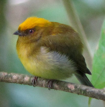 Yellow-headed-Manakin by Diego Calderon