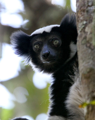 Indri-by-Steve-Bird