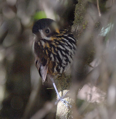 Cresent-faced-Antpitta-by-Roger Ahlman