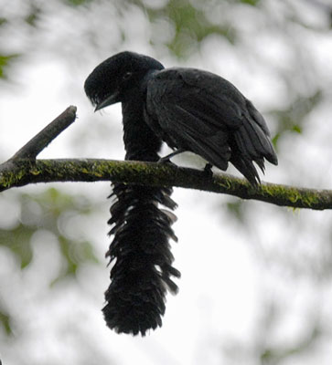 Long-wattled-Umbrellabird-by Roger Ahlman