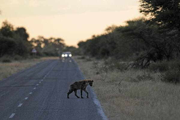 Spotted-Hyena-at-Dusk