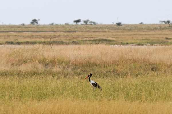 Saddle-billed-Stork-at-Etosha