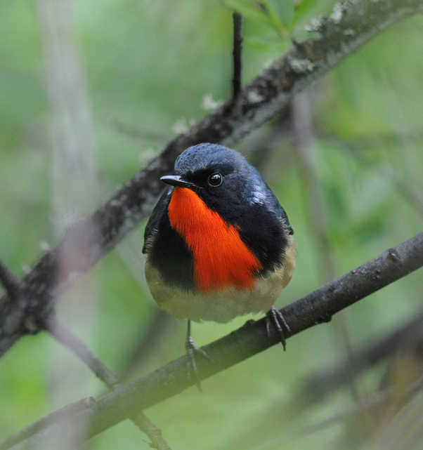 Firethroat copyright Nick Bray