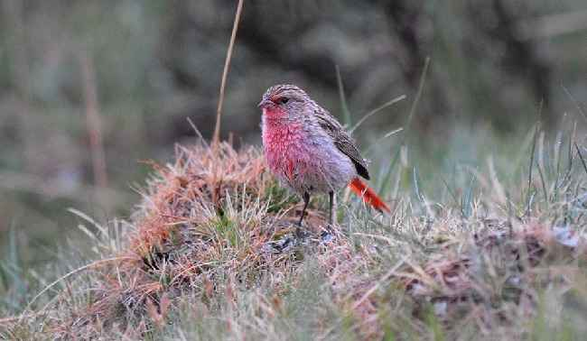 Pink-tailed-Finch-Qinghai 2014