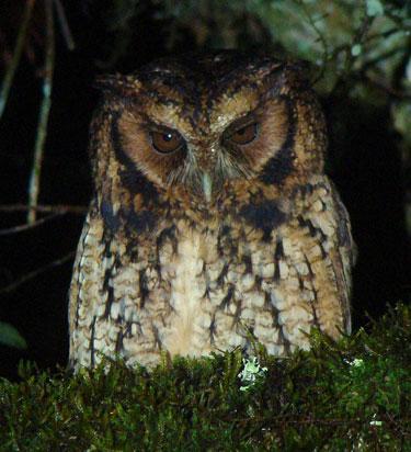 Long-tufted-Screech-Owl by Eduardo Patrial