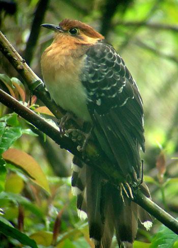 Pavonine-Cuckoo by Eduardo Patrial