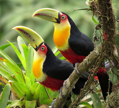 Red-breasted-Toucan by Eduardo Patrial