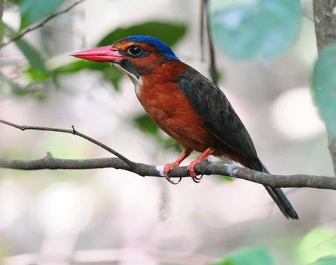 Green-backed-Kingfisher-Tangkoko 2012