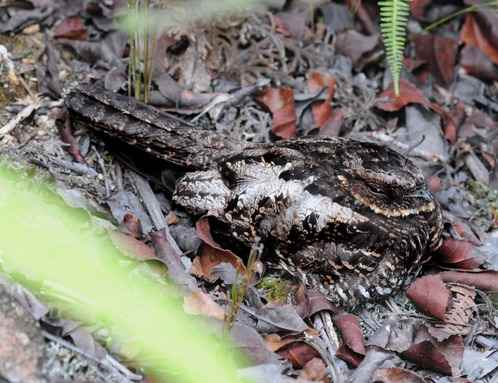 Diabolical-Nightjar by Nick Bray