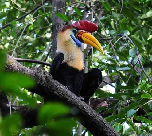 Knobbed-Hornbill-by Nick Bray