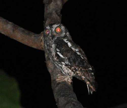 Moluccan-Scops-owl by Nick Bray