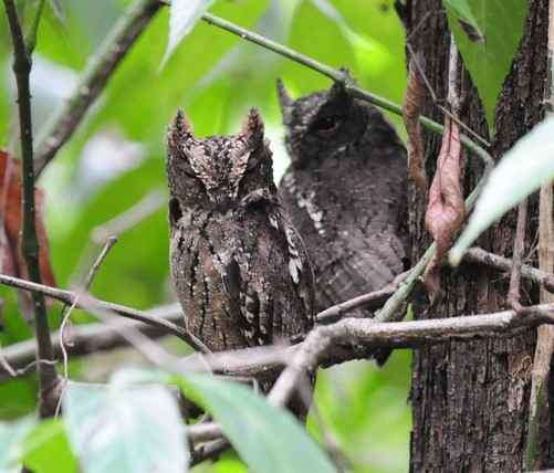Sulawesi-Scops-owl-by Nick Bray