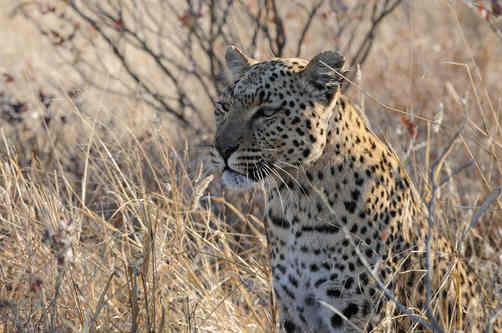 Leopard - Etosha July 2014