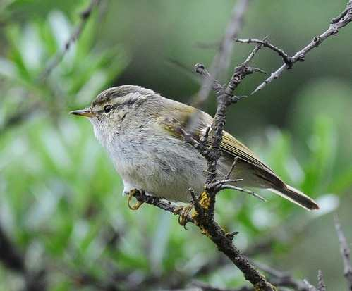 Gansu Leaf-Warbler