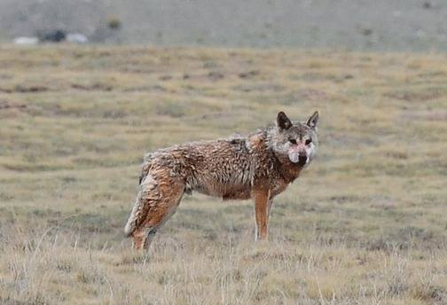Wolf-Qinghai by Nick Bray