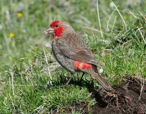 Red-fronted-Rosefinch - Qinghai by Nick Bray