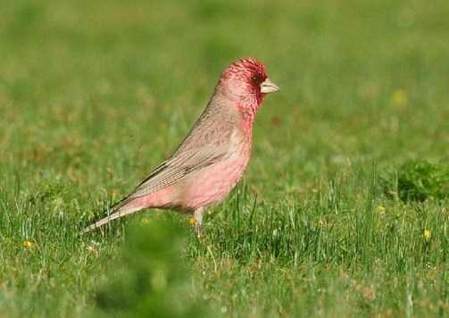 Spotted-Great-Rosefinch Qinghai by Nick Bray