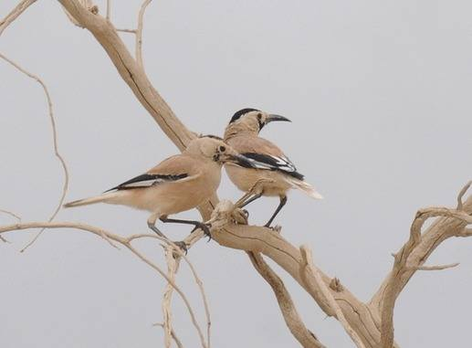 Biddulphs-Ground-Jay-Xinjiang by Nick Bray