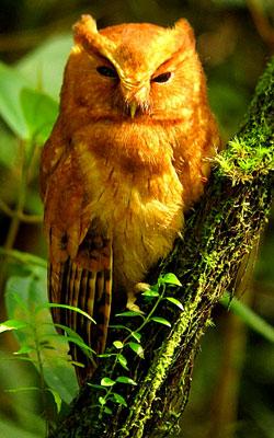 Cinnamon-Screech-Owl-by-Diego Calderon
